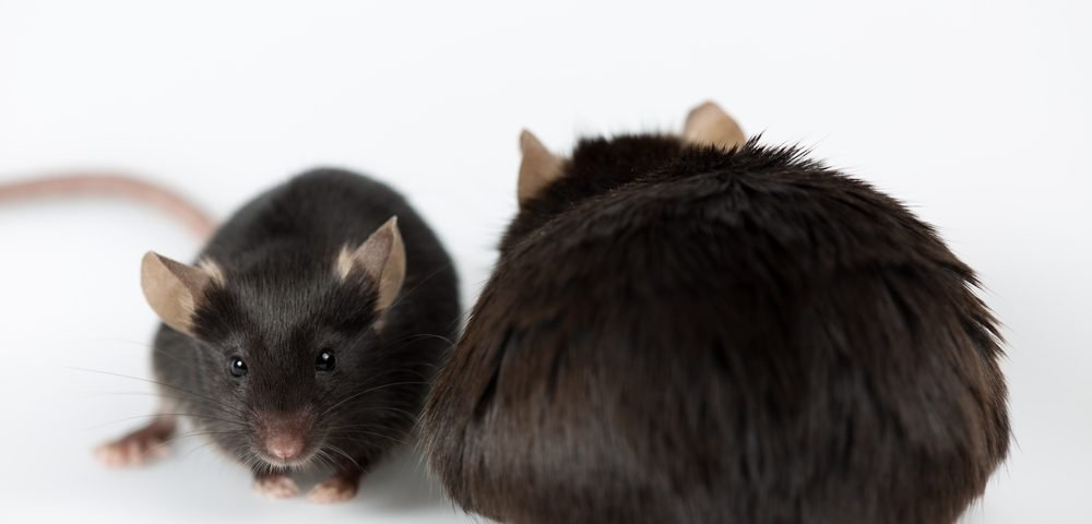 Blocking 2 Types of Immune Cells Seen to Prevent NASH in Mice, Raising Hope of Treatment