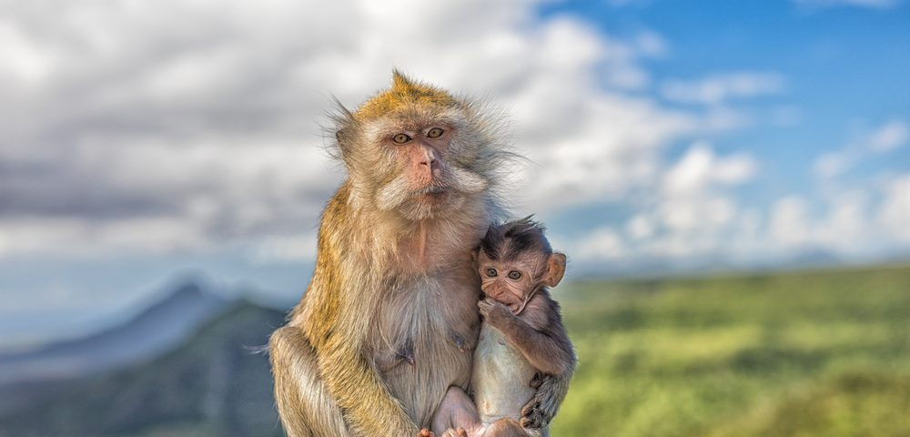 Monkey Studies Prove Safety, Tolerability of IVA337 Experimental Therapy for Non-alcoholic Steatohepatitis